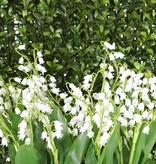 Lelietje-van-dalen (Convallaria majalis) bundel x3, 29 bells