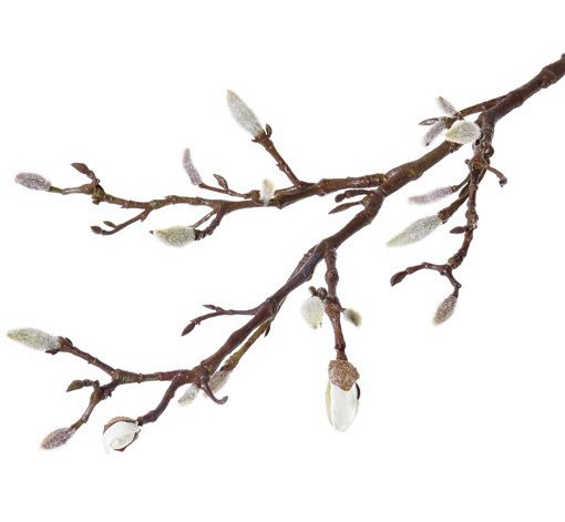 Magnolia tak met 19 knoppen, 71cm lang
