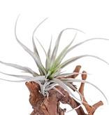 Tillandsiabush, 31 blaadjes, flocked, 25 cm