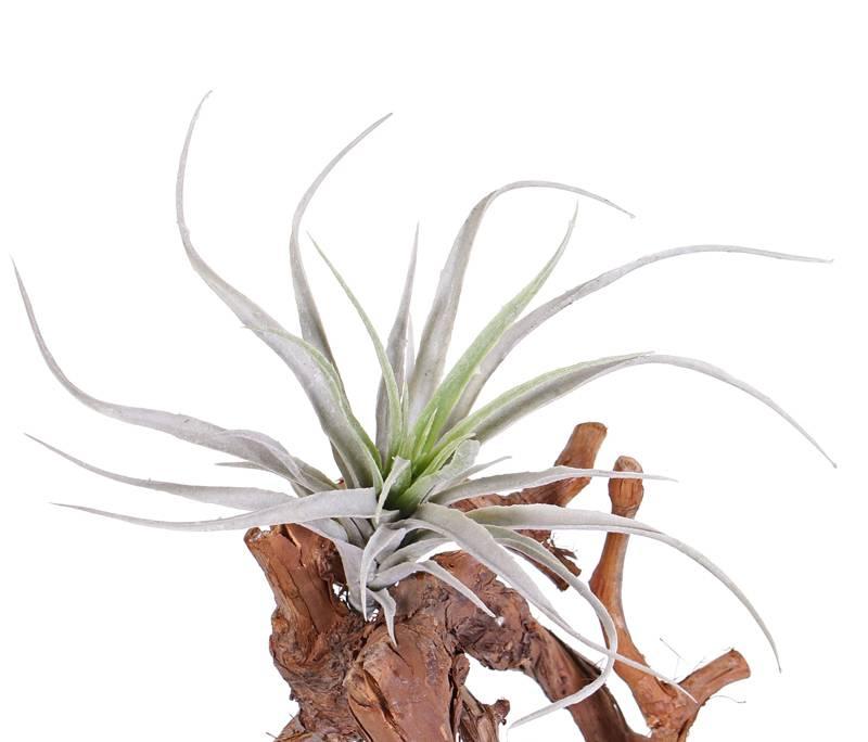 Tillandsia, 31 hojas, floceada, 25 cm
