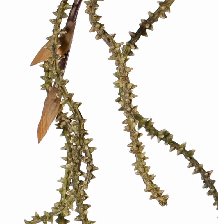 rama de sauce nudoso, 127 cm