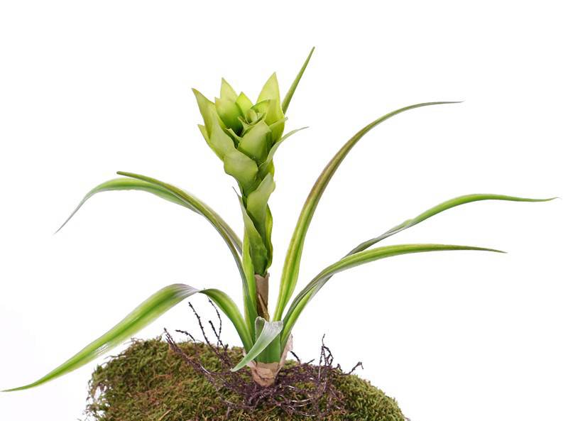 Guzmania planta, 1 flor, 8 hojas plasticas & raíces, 41cm
