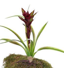 Guzmania plant x1, x8 plastic leaves & roots, 41cm