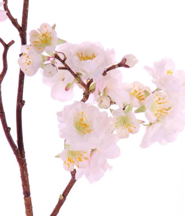 """Prunus serrulata (Jap. Blütenkirsche) """"Full blossom"""", x51flrs (16L/11M/24S) & 19bud, 91cm"""