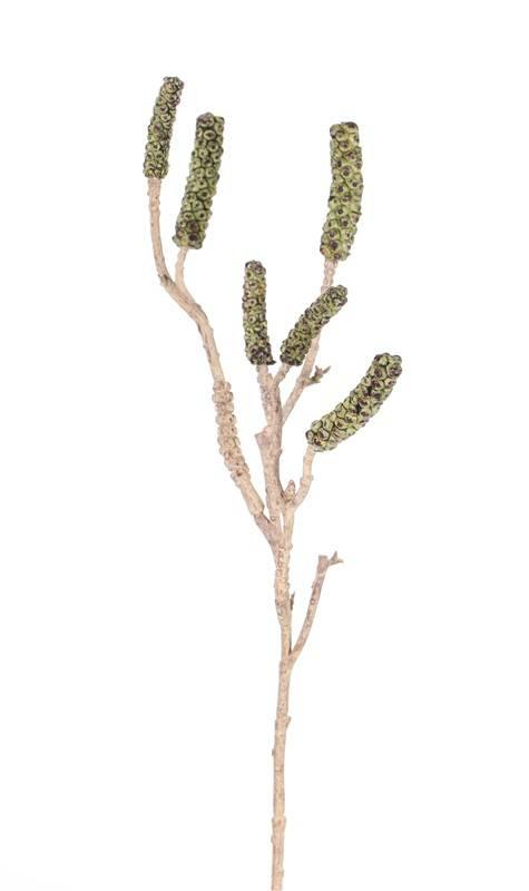 Callistemon - Bottlebrush with 6 seed capsules, 60cm