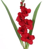 Gladiool (Zwaardlelie) (Gladiolus), 5 bloemen, 8 knoppen, 2 bladeren, 83cm