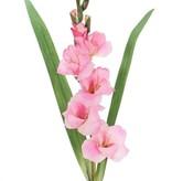 Gladiole mit 5 Blüten u. 8 Knospen u. 2 Blättern, 83cm