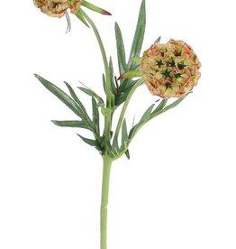 Scabiosa stellata, x2 bloemen & 4vertakkingen, 55cm