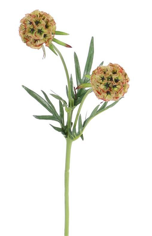 Scabiosa stellata, 2 bloemen & 4 vertakkingen, 55 cm