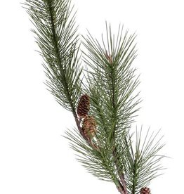 Tama de pino (Pinus sylvestris) grande, 3 conos naturales, 14 capullos 124cm
