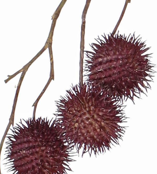 Platanus-Zweig, Ahornzweig, (Platanus acerifolia), 8 Sammelfrüchte, (Ø 3,5cm), 81cm