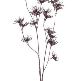 "Wilde Möhre (Daucus carota), ""Dried Nature"", 20 Blüten,  66cm"