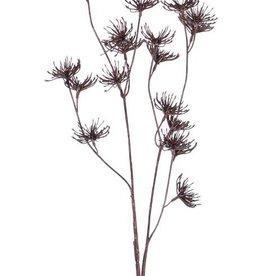 Zanahoria (Daucus carota), 'Dried Nature', 20 flores, 66cm