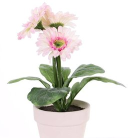 Gerbera in pot , 3 flowersn (ø9.5cm) & 5 lvs,  (ø11cm)