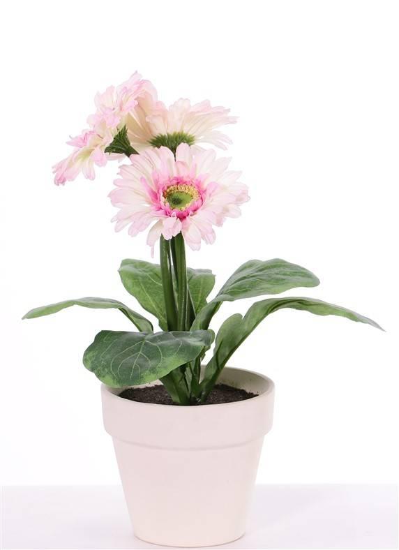 Gerbera in pot , 3 flowers (ø9.5cm) & 5 lvs,  (ø11cm)