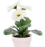 Planta de Gerbera con 3 flores (Ø 9.5cm) en maceta & 5 hojas, maceta de ø11cm, 31 cm
