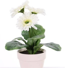 Gerberaplant met 3 bloemen (ø9.5cm) & 5 blad, in pot ø11 cm, 31cm