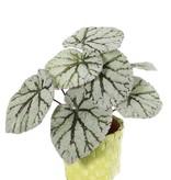 Begonia Rex (Königsbegonie) mit 7 Verzweigungen, 9 Blättern, (spezielle Beschichtung), Ø 25cm