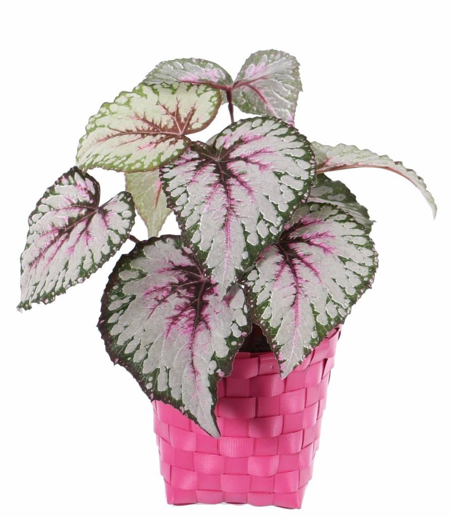 Begonia Rex (Koningsbegonia) met 7 vertakkingen, 9 bladeren (speciale coating), Ø 25cm