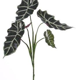 "Alocasia ""Polly"", 5 branches, 5 lvs, 75cm"