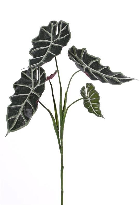 "Alocasia ""Polly"" (Skeletplant), 5 vertakkingen, 5 bladeren,  75cm"