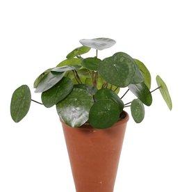 Pilea Peperomioides (Pannekoekenplant) met 25 blaadjes, Ø 30cm