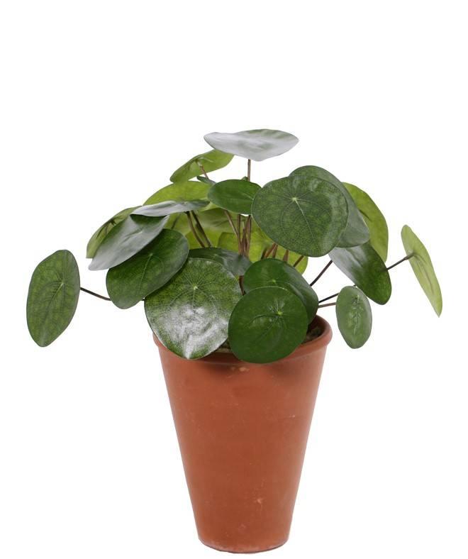 Pilea Peperomioides (Chinese money plant, pancake plant), 25 lvs., Ø 30cm