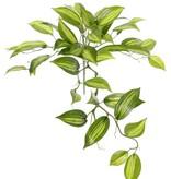 Vanilla Planifolia (Vanilleplant) x7 met 49 blaadjes, Ø 45cm