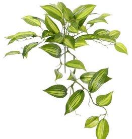 Vanilla Planifolia (Vanille) 7 Verzweigungen, 49 Blätter, Ø 45cm