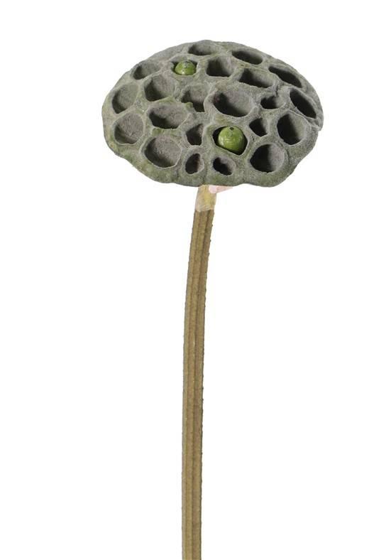 Lotuskolf (Nelumbo nucifera) Ø 10cm, met 2 vruchten, 66cm