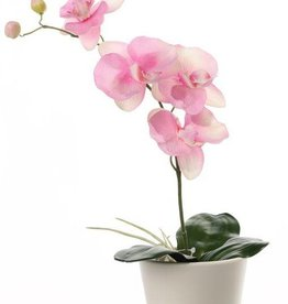 Phalaenopsis / Orchidee x 4 Flrs 2 Buds 3 Lvs & Roots 44cm