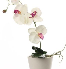 Phalaenopsis x 4 Flors, 2 capullo, 3 Hojas 44cm