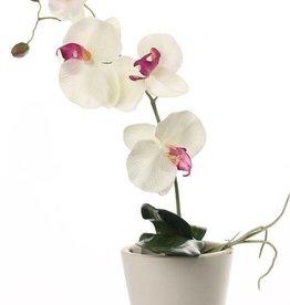 Phalaenopsis x 4 Flrs, 2 Buds, 3 Lvs & Roots 44cm
