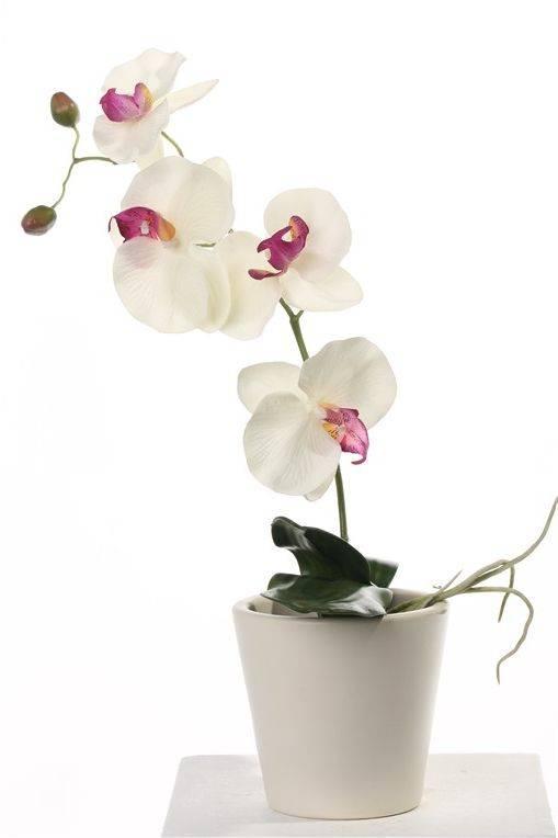 Phalaenopsis x 4 Flrs, 2 Buds, 3 Lvs & Roots, 44cm