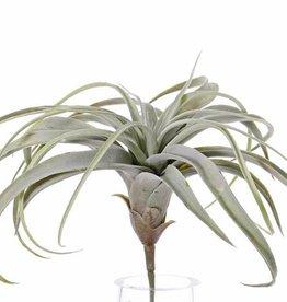 Tillandsia - Tillandsien, groß,  H. 30cm / Ø 35cm, 30 Blätter
