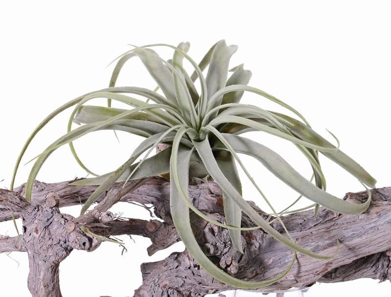 Tillandsia, grande,  h. 30cm,  Ø 35cm, 30 hojas