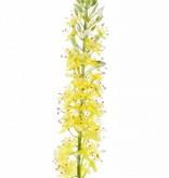 Eremurus x1 (50*9cm), 47 flores, 89 capullos, 106cm