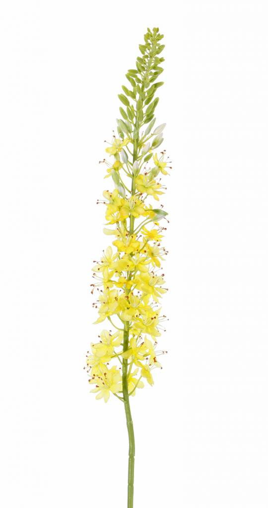 Steppenkerze, Kleopatranadel (Eremurus), (50*9cm) 47 Blüten, 89 Knospen, 106cm