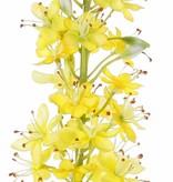 Eremurus, desert candle, foxtail lily (50*9cm) 47 flowers, 89 buds, 106cm