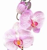 Phalaenopsis x3 kort 33cm pl knop