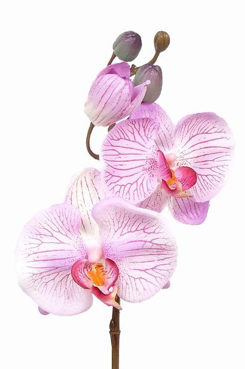 Phalaenopsis/Orchidee, 3 Blüten,  33 cm, Knospen, Ø 7-8 cm