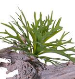 Geweihfarn (Platycerium) klein, 12 Blätter, 30cm