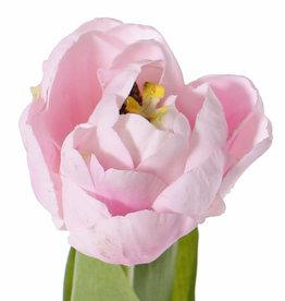 Tulpe 'Full Bloom'