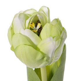 Tulpe Full Bloom