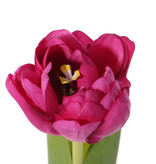 Tulip 'Full Bloom', (Ø 6.5 * 5.5cm), 6 layers, 'Top Art 60!', 2 lvs., REAL TOUCH, 45cm