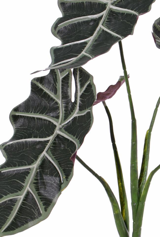 "Alocasia micholitziana (Planta oreja de elefante) ""Polly"", 5 hojas, 75cm"