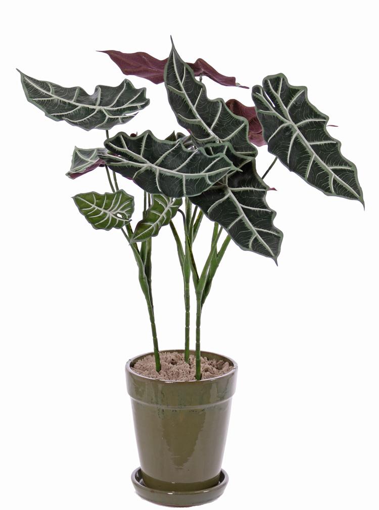 """Alocasia """"Polly"""" , 5 Verzweigungen, 5 Blätter,  75cm"""