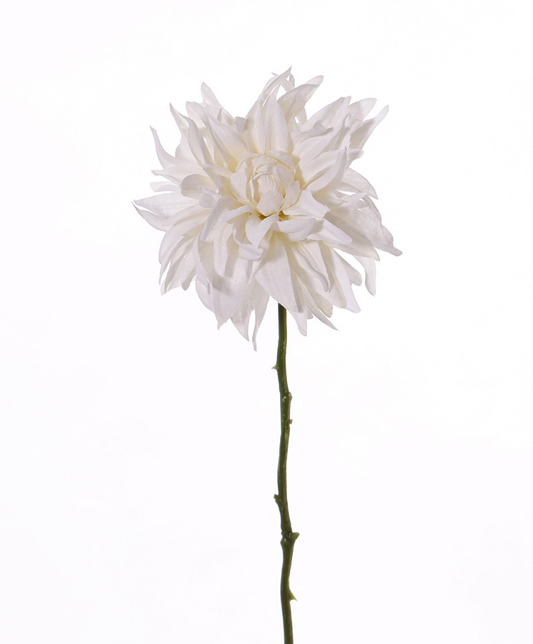 Dahlia 'SummerBreeze', Ø 12cm, 53cm
