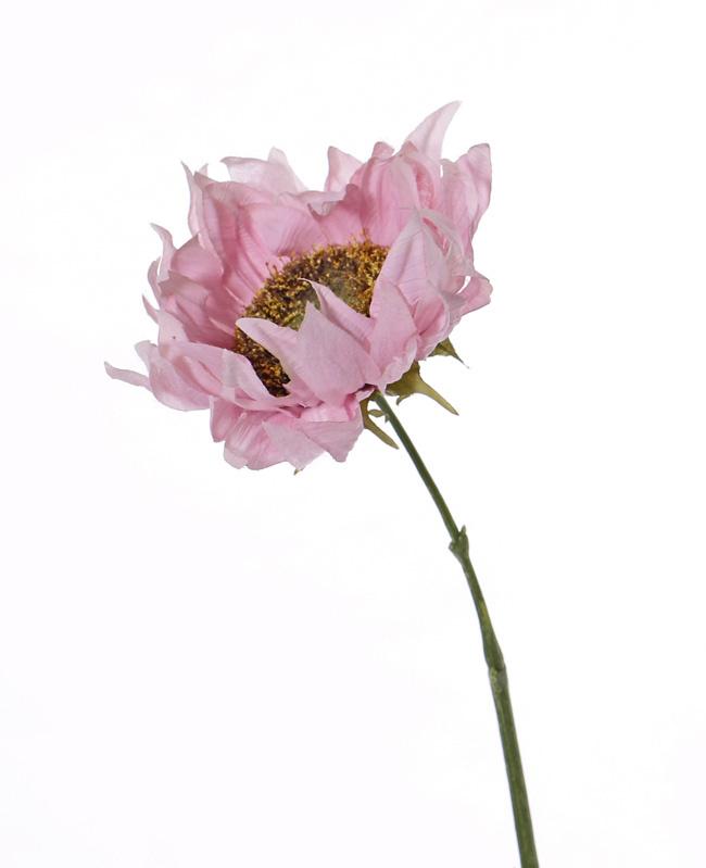 Sonnenblume 'SummerBreeze', Ø 12cm, 58cm