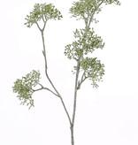 Apiaceae/Umbelliferae 'SummerBreeze', x2,  6 grupos, 60cm